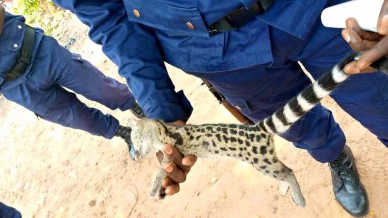 Kasaï oriental : insolite, un animal non identifié abattu à l'assemblée provinciale à quelques jours de la rentrée parlementaire